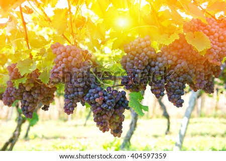 Purple red grapes with green leaves on the vine. Vine grape fruit plants outdoors. Sunset - stock photo