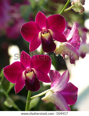 Purple red orchids - stock photo