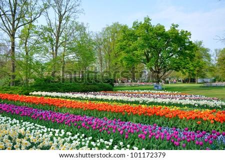 Purple, red, white and orange tulips in Keukenhof park in Holland - stock photo