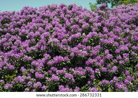 Purple rhododendron all over in the sun - stock photo