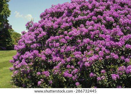 Purple rhododendron closeup a summer day - stock photo