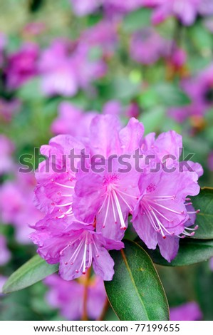 Purple Rhododendron closeup, beautiful color (between blue violet and dark orchid) - stock photo