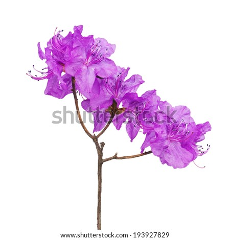 Purple rhododendron flowers (Labrador tea) on branch isolated on white background.