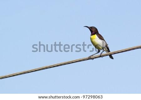 Purple rumped sunbird resting on a perch - stock photo