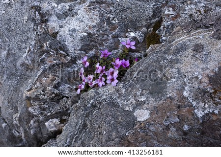 Purple saxifrage at gray rocks in Helgeland, Nordland, Norway. - stock photo