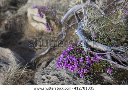 Purple saxifrage blooming at rocks between winding stems of juniper. Photographed in Helgeland, Nordland, Norway. Shallow DOF. - stock photo