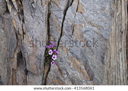 Purple saxifrage flowering in a crack between rocks. Photographed in Helgeland, Nordland, Norway. - stock photo