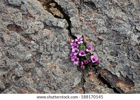 Purple saxifrage, one of the first spring flowers, growing at calcareous rocks at Norwegian coast. - stock photo