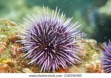 Purple Sea Urchin (Strongylocentrotus purpuratus) along Anacapa Island, CA - stock photo