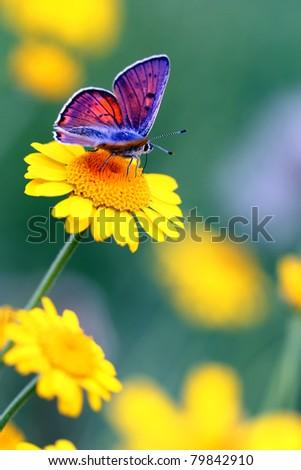 Purple-shot Copper - Lycaena alciphron - stock photo