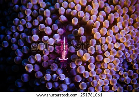 Purple shrimp hide on anemone. underwater photo bunaken dive indonesia - stock photo