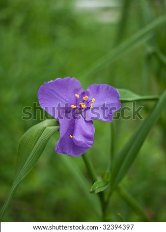 Purple spider-wort close up in the garden. - stock photo