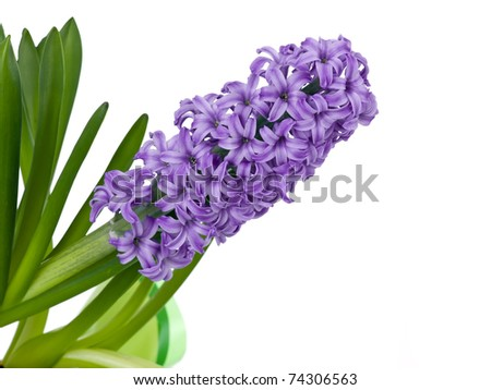 Purple spring hyacinth isolated on pure white background - stock photo