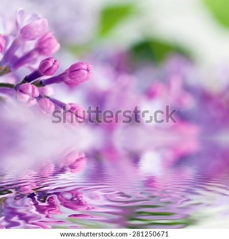 Purple spring lilac flowers blooming close-up. Water reflection. Syringa vulgaris - stock photo