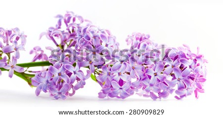 Purple spring lilac flowers blooming. Isolated on white banner, panorama. Syringa vulgaris - stock photo