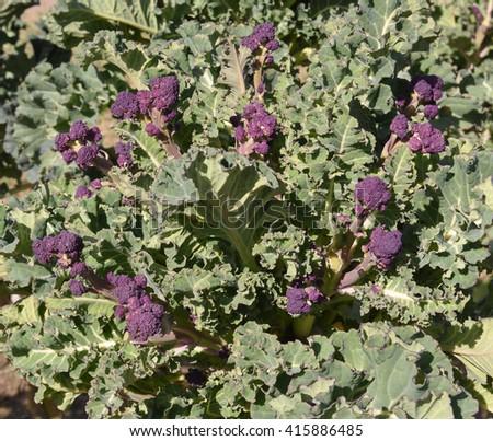Purple Sprouting Broccoli (Brassica oleracea) in a Vegetable Garden in Devon, England, UK - stock photo