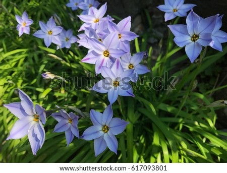 star of bethlehem flower stock images, royaltyfree images, Beautiful flower