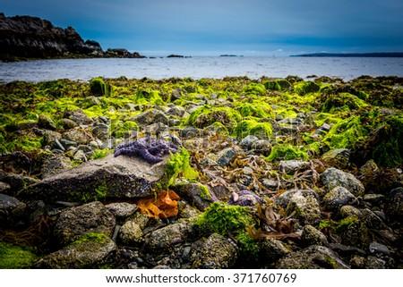 Purple Starfish among rocks & bright green seaweed on a beach on Vancouver Island, Canada  - stock photo