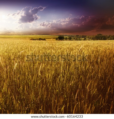 Purple sunset over wheat field. - stock photo