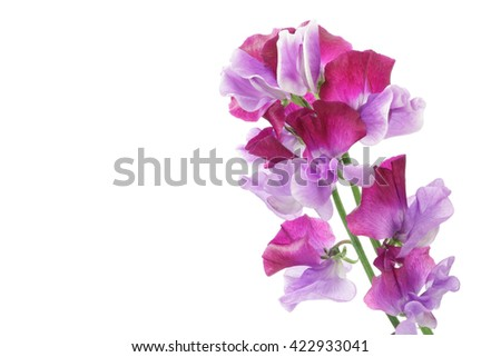 Purple sweet pea isolated on white background