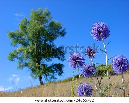 Purple thistle - stock photo