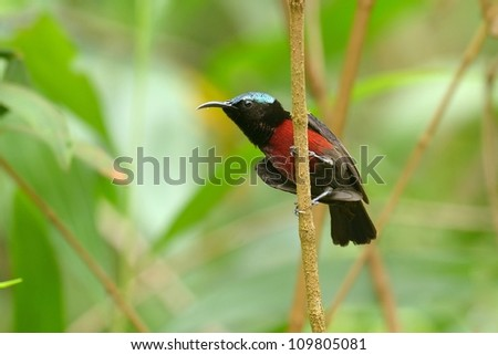 Purple-throat ed sunbird