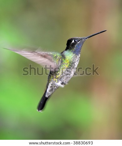 purple throated mountain gem hummingbird male hovering, costa rica