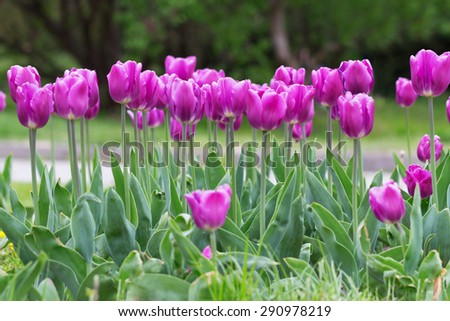 Purple tulip flowerbed in early spring - stock photo