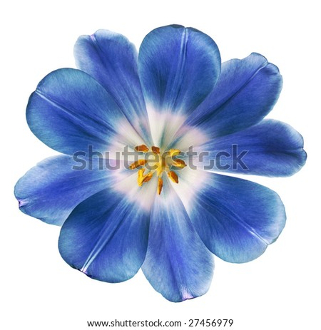 purple tulip isolated on white background - stock photo