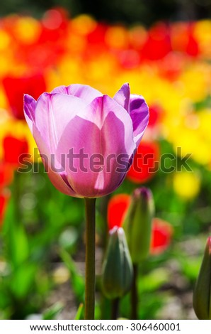 Purple tulip on a bright background on a sunny day, macro - stock photo