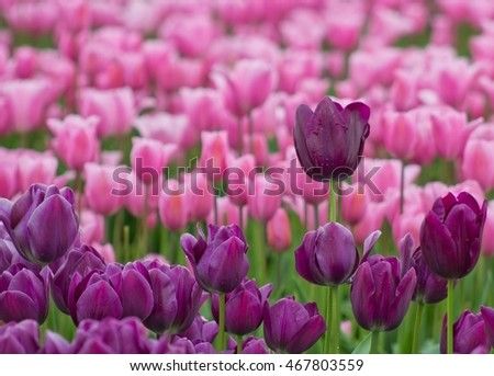 Purple tulip stands tall in a field full of flowers.
