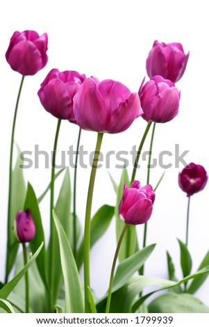 Purple tulips - stock photo