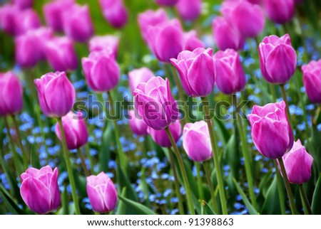 purple  tulips - stock photo