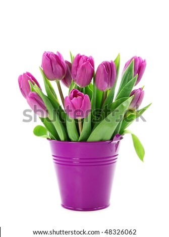 Purple tulips in bucket isolated on white background - stock photo