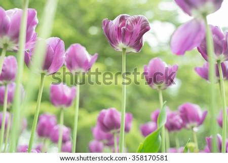 Purple tulips in the garden - stock photo