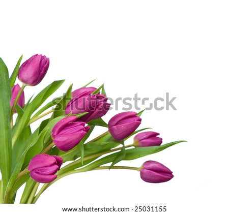 purple tulips isolated on a white background - stock photo
