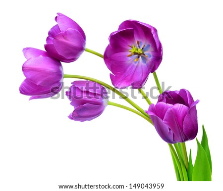 purple tulips isolated on white background  - stock photo