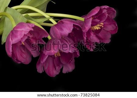 Purple tulips on green background. - stock photo