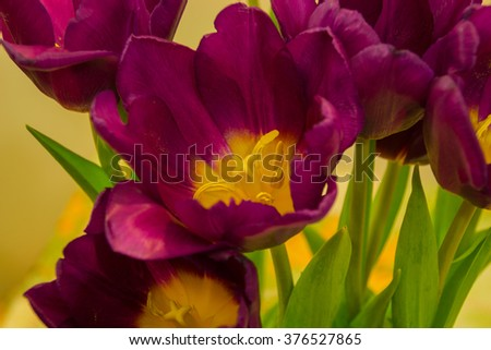 Purple tulips on the light background. The tulip is a Eurasian and North African genus of perennial, bulbous plants in the lily family. - stock photo