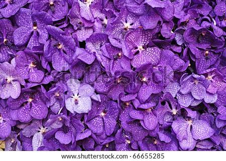 Purple Vanda Orchid Wall Decoration Interior - stock photo