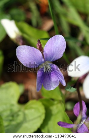 Purple Violet Blossom (genus Violaceae) - stock photo