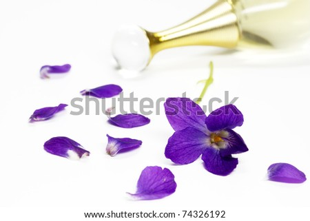 Purple Violets, isolated on white background - stock photo