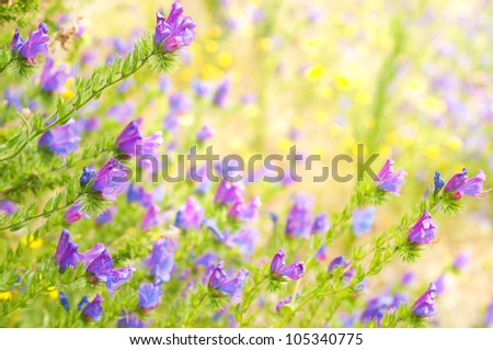 Purple Viper's Bugloss on the blurred background with copy space for text - stock photo