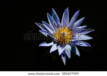 Purple water lilly flower using flash on dark background