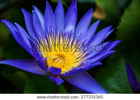 Purple water lilly on water background with leaves and it's bud. - stock photo