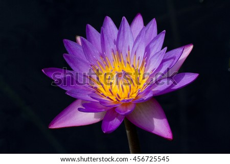 Purple water lily against black background - stock photo