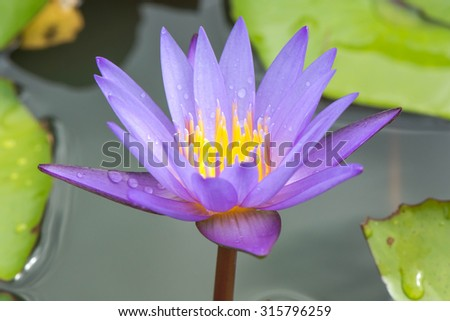 purple water lily close up - stock photo