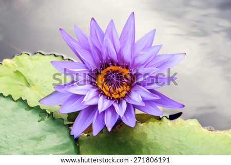 purple Water Lily flower in full bloom - stock photo