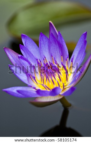 Purple water lily in a pond with refection - stock photo
