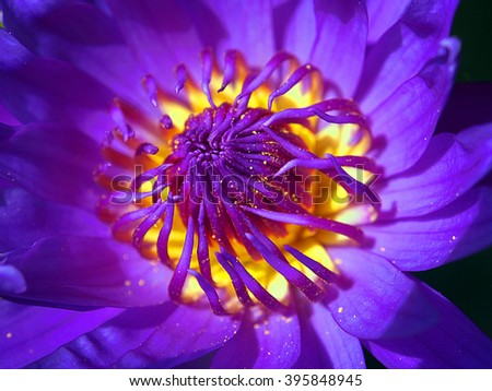 Purple Water Lily Macro - A close up high definition macro of a blooming purple water lily with its full vibrant colors on display. - stock photo